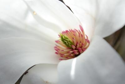 田蟲葉(柳葉木蘭,木蘭科)