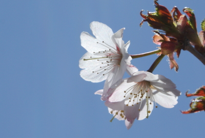 Japanese alpine Cherry (Prunus nipponica)