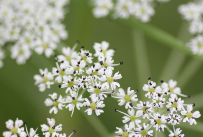 False Snowparsley (Tilingia ajanensis)