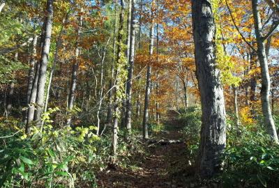 山毛欅の大木が広がる登山道。森林浴が気持ちよい