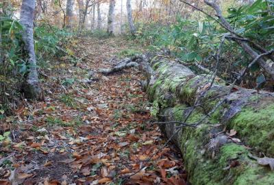 山毛欅の大木が所々に倒れて、生命の循環を感じます