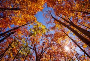 山毛欅の森の紅葉