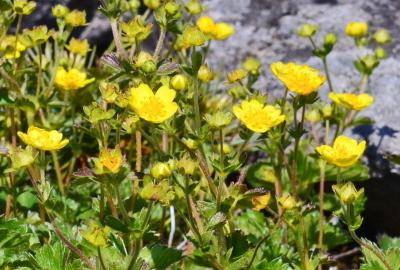 東栗駒山の深山金梅が満開です