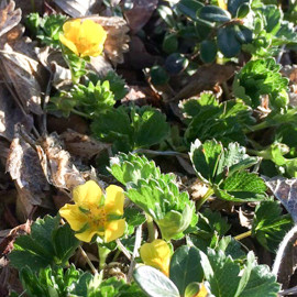 東栗駒山に深山金梅が開花