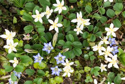 花の百名山 須川高原