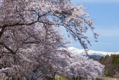桜と栗駒山