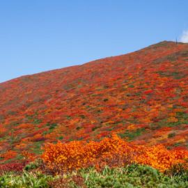 紅葉情報 天馬尾根、須川登山道