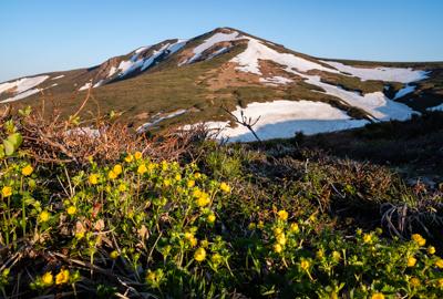 東栗駒山の深山金梅が見頃です
