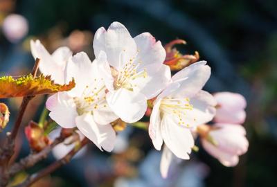 花の百名山 春の花が咲き始めました