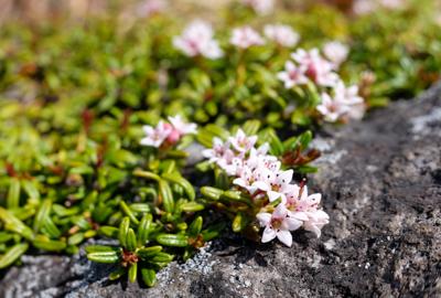 須川高原の高山植物