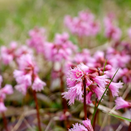 イワカガミ湿原の開花状況