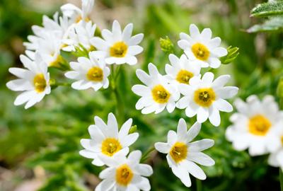 花の百名山 栗駒山