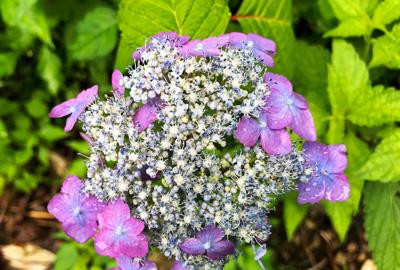 蝦夷紫陽花