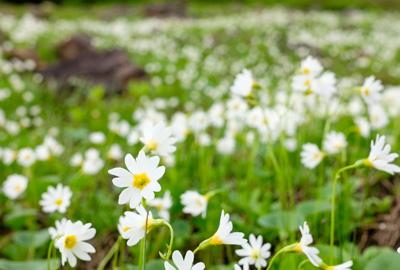 花の百名山 雛桜
