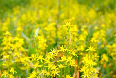 夏を告げる花、金黄花