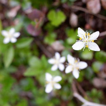 須川登山道と自然観察路の開花情報